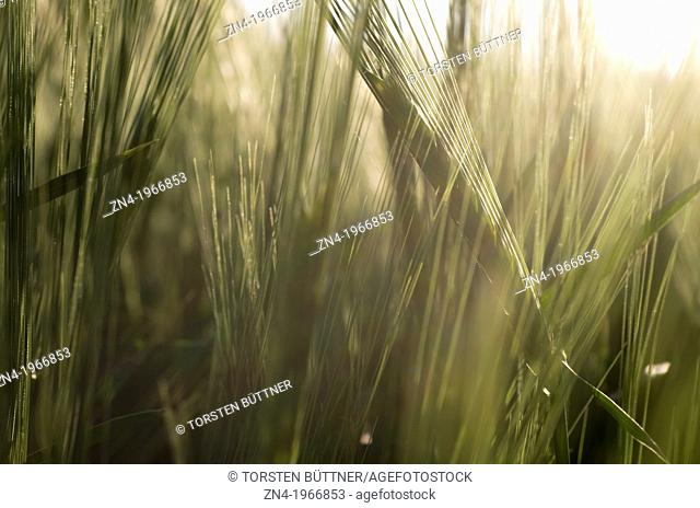 Wheat Field Detail at Sunset near Bad Schallerbach, Upper Austria, Austria