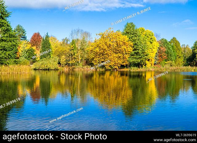 Autumn colours reflected in the class like surface of a pond. Kidderminster Worcestershire UK. October 2020