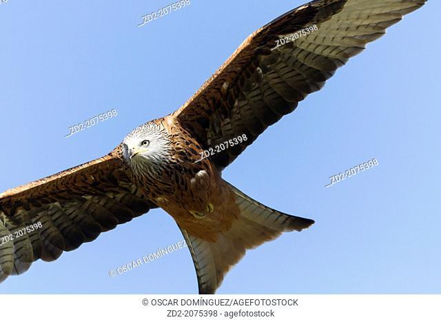 Red Kite (Milvus milvus) in flight. Pyrenees. Lleida province. Catalonia. Spain