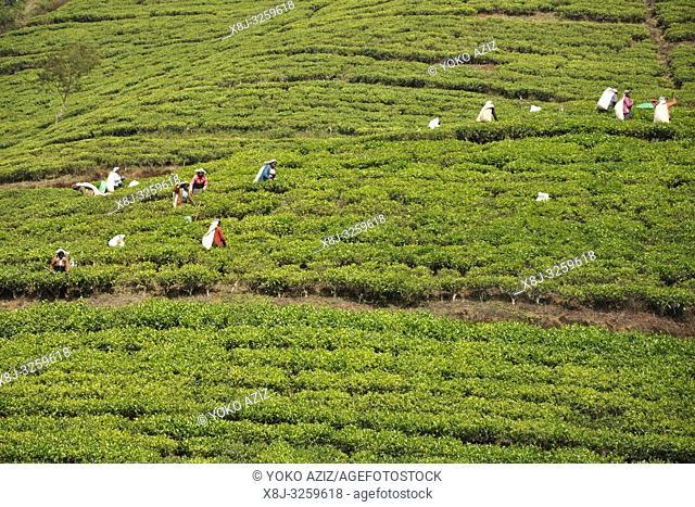 Sri Lanka, Nuwara Eliya, tea plantations