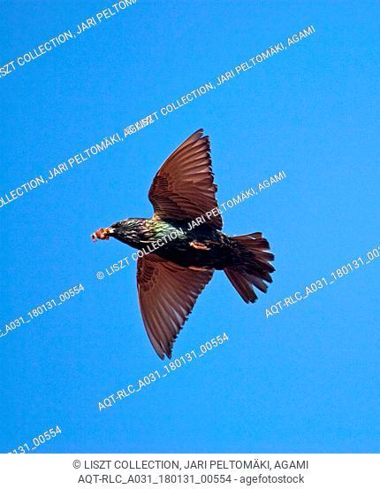 Common Starling with food in flight, Common Starling, Sturnus vulgaris