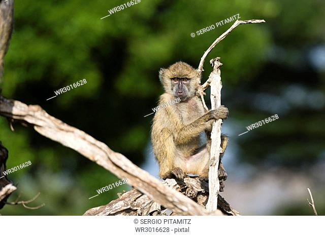 A baby yellow baboon (Papio hamadryas cynocephalus), resting on a tree branch, Tsavo, Kenya, East Africa, Africa