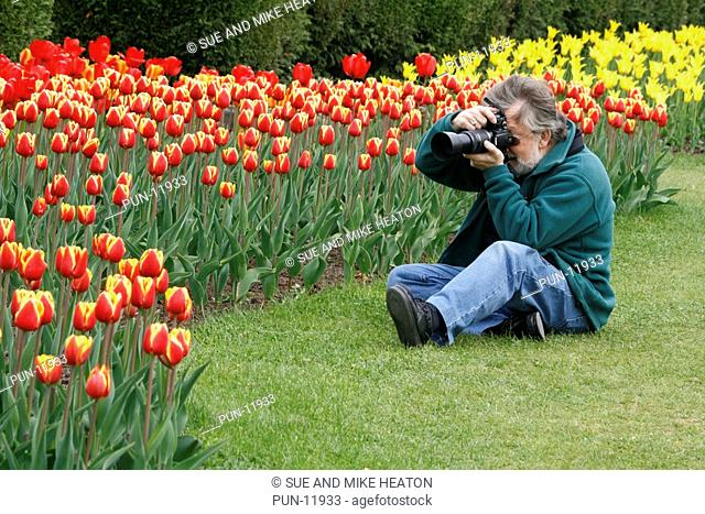 Senior photographing tulips, with tulipa 'Denmark' in the foreground and tulipa 'West Point' in the background
