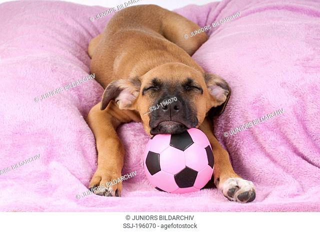 Mixed breed dog (Boxer x ?) Puppy sleeping on a purple blanket, its head bedded on a football Germany