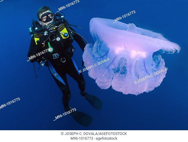 Rebreather diver checks out sea jelly floating past deco stop, Chuuk, Micronesia, Pacific