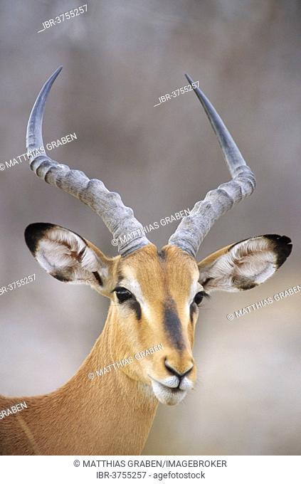 Blacked-faced Impala or Black-faced Impala (Aepyceros melampus petersi), Kunene Region, Namibia