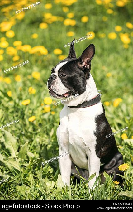Funny Young Boston Bull Terrier Dog Outdoor In Green Spring Meadow With Yellow Blooming Dandelion Flowers. Playful Pet Outdoors
