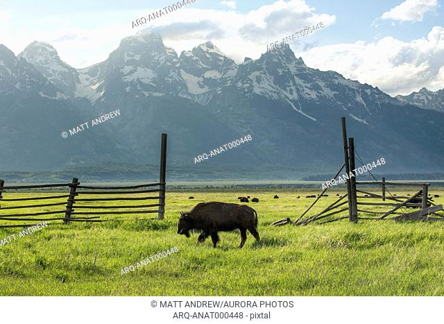 A bison grazes in a wooden fenced pasture with the Grand Teton Mountain range in the distance