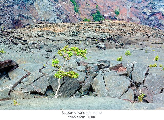 Cracked barren bottom of Kilauea Crater with ohia lehua plants in Hawaii Volcanoes National Park