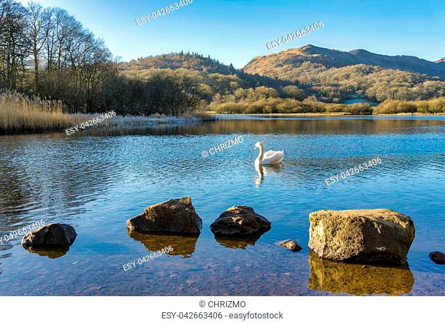 A swan on Elterwater with hills in the background and a row of rocks in the foreground. Langdale, English Lake District, Cumbria