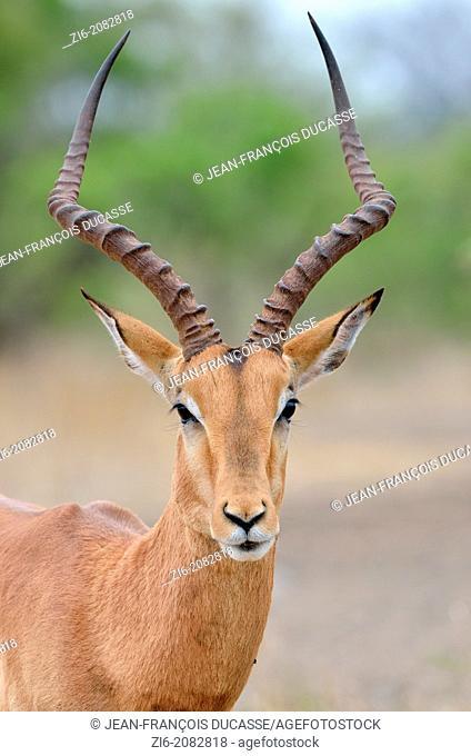 Impala, Aepyceros melampus, Kruger National Park, South Africa