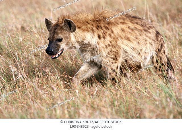 Spotted hyena (Crocuta crocuta). Masai Mara. Kenya