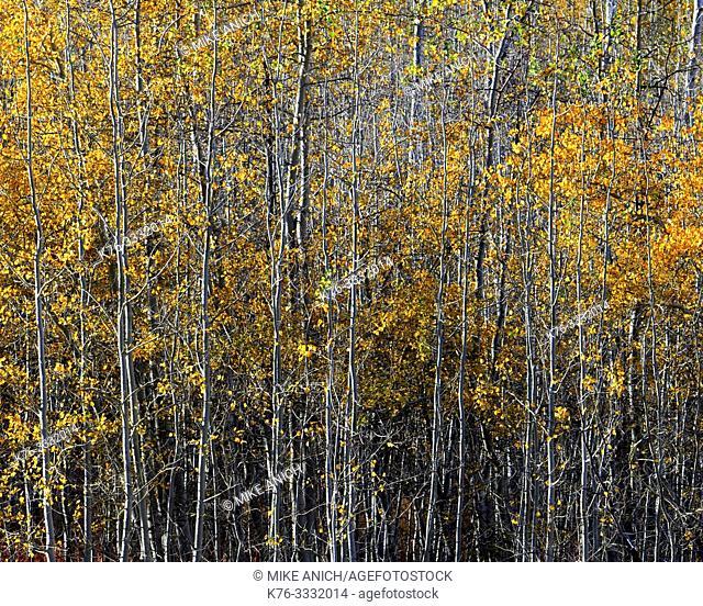 Autumn, Aspen Trees, Grand Teton NationalForest, Wyoming