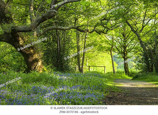 Bluebells in a West Sussex woodland, England