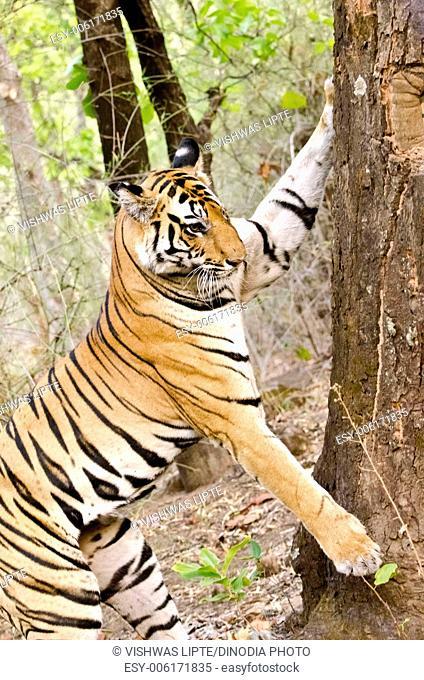 tiger scratching on tree bark in Bandhavgarh National Park Umaria at Madhya Pradesh India Asia