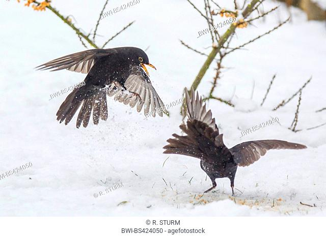 blackbird (Turdus merula), two males in conflict, Germany, Bavaria, Niederbayern, Lower Bavaria