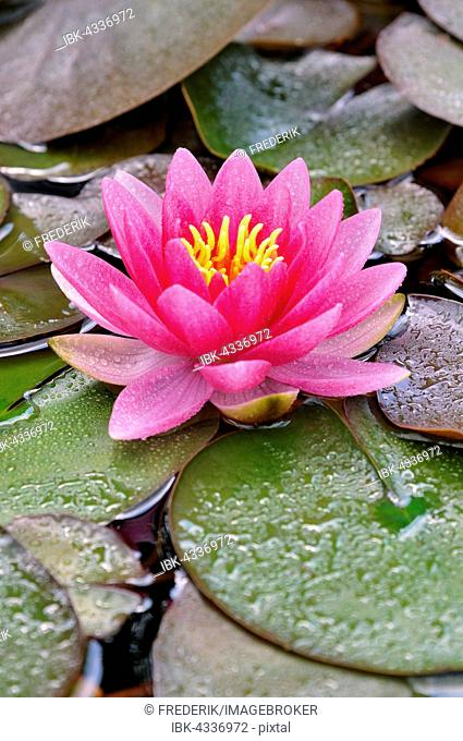 Pink water lily (Nymphaea) with waterdrops, North Rhine-Westphalia, Germany