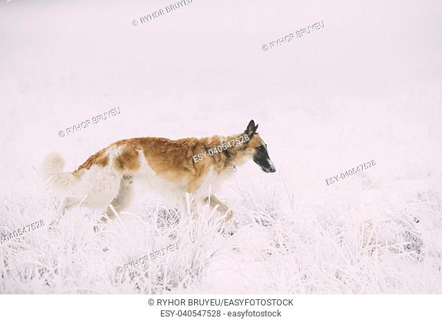 Russian Wolfhound Hunting Sighthound Russkaya Psovaya Borzaya Dog During Hare-hunting At Winter Day In Snowy Field