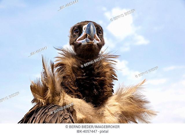 Cinereous Vulture, also Black Vulture (Aegypius monachus), Mongolia