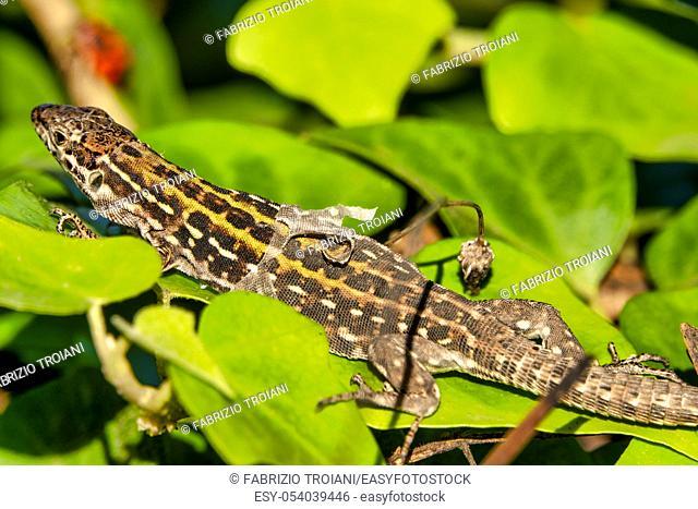 Italian wall lizard (Podarcis siculus) shedding its skin