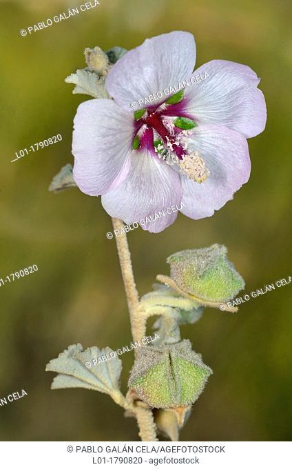 Lavatera maritima Malvaceae
