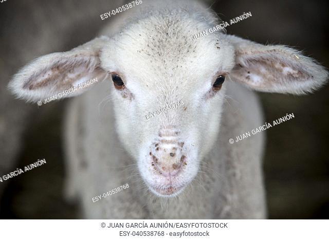 Lamb of merina sheep pure breed at barn, Spain. Closeup