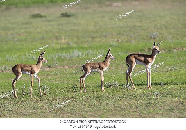 Springbok (Antidorcas marsupialis) - Lambs, jumping, Kgalagadi Transfrontier Park in rainy season, Kalhari Desert, South Africa/Botswana