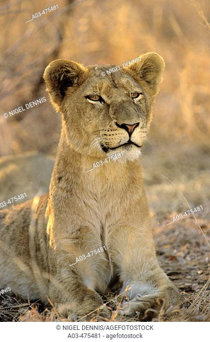 Lioness, Panthera leo, Sabi Sabi, Greater Kruger National Park, South Africa