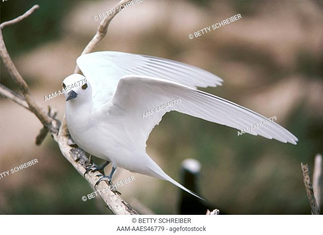 Fairy Tern (Gygis alba) Lays Black Skinned Egg on Bare Branch, Christmas Is/Pacific