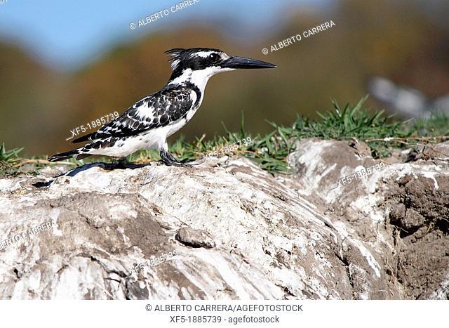 Pied Kingfisher, Ceryle rudis, Chobe River, Chobe National Park, Botswana, Africa