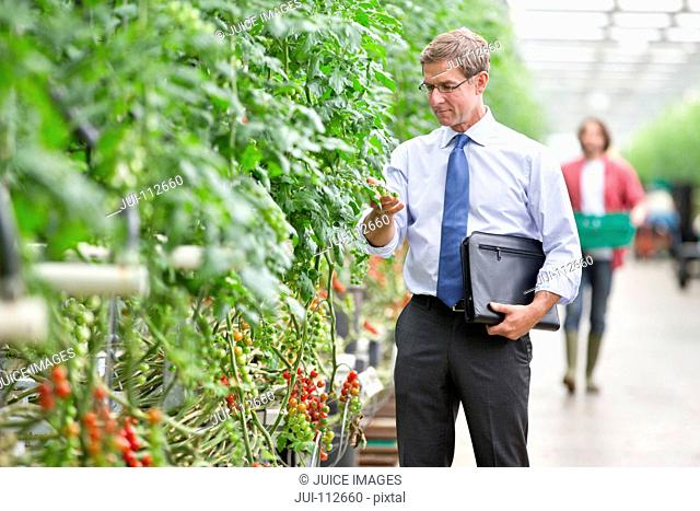 Businessman inspecting tomato plants in greenhouse