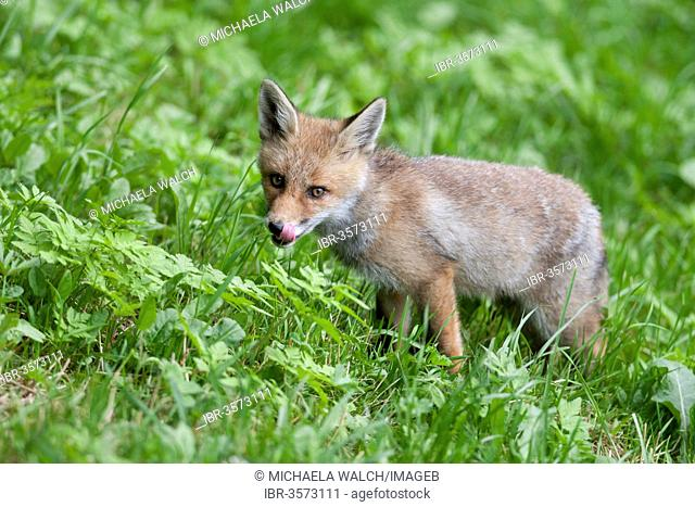 Young fox (Vulpes vulpes) standing on a meadow