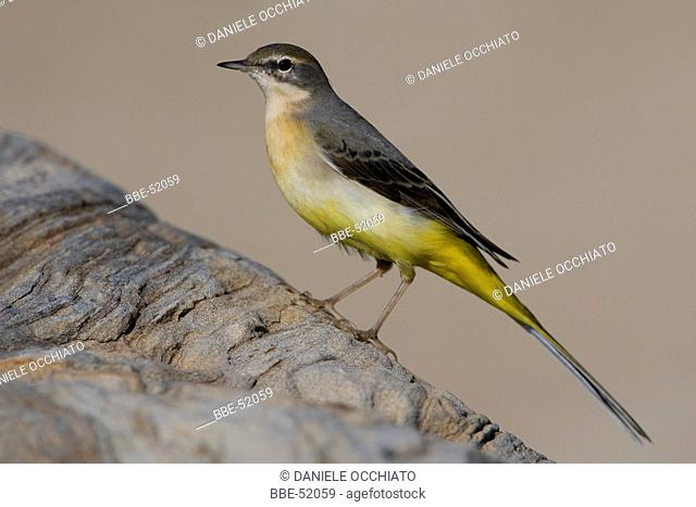Side view of a Grey Wagtail sitting on a rock