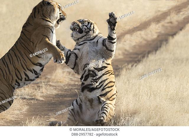 South Africa, Private reserve, Asian (Bengal) Tiger (Panthera tigris tigris), fight between two males