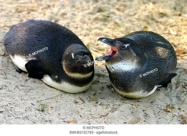 jackass penguin, African penguin, black-footed penguin (Spheniscus demersus), juveniles