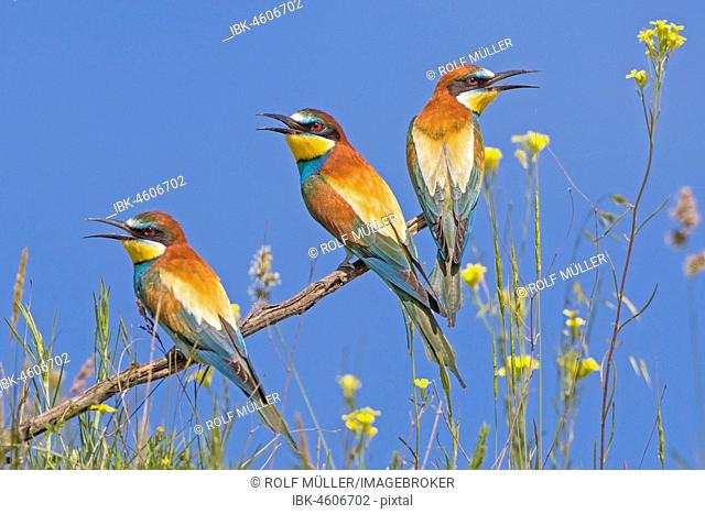 Bee-eater (Merops apiaster), group at Ansitzast, Biosphere Reserve Danube Delta, Dobruja, Romania