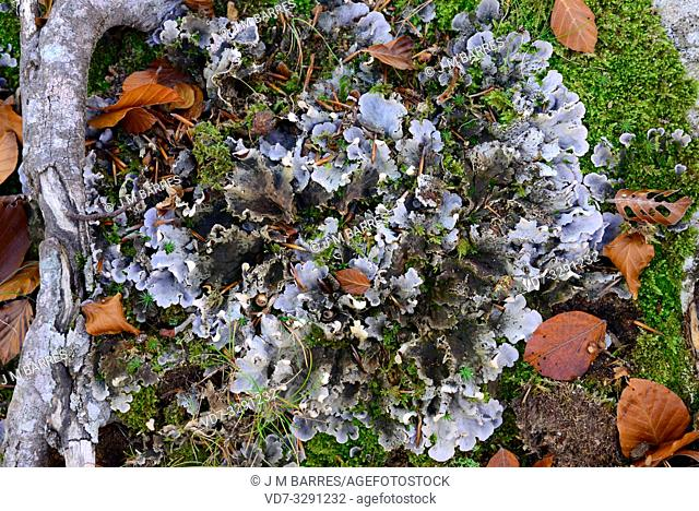 Peltigera praetextata is a foliose lichen that grows next to mosses. This photo was taken in Montseny Biosphere Reserve, Barcelona province, Catalonia, Spain