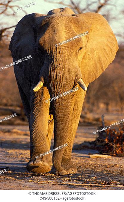 African Elephant (Loxodonta africana); bull in the evening. Hwange National Park, Zimbabwe