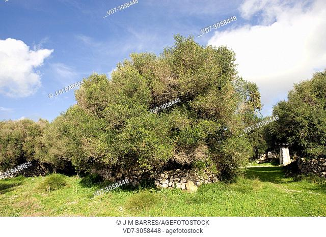 Wild olive (Olea europaea sylvestris or Olea europaea oleaster) is a shrub or small tree native to Mediterranean Basin. This photo was taken in Menorca Island