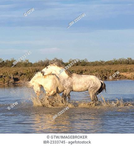 Camargue horses, stallions, fighting in the water, Bouches du Rhône, France, Europe
