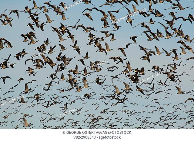 Canada geese (Branta canadensis) in flight, William Finley National Wildlife Refuge, Oregon