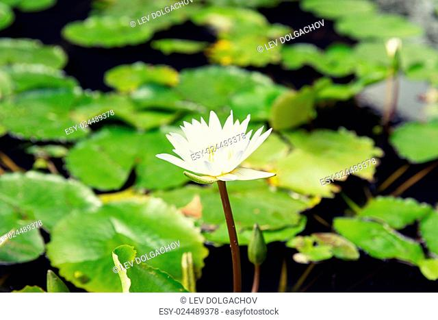 nature, flora and biology concept - close up of white water lily in pond