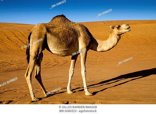 Dromedary camel (Camelus dromedarius), desert