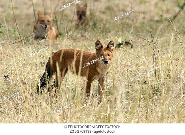 Indian wild dog or Dhol, Cuon alpinus, Kanha National Park, Madhya Pradesh, India