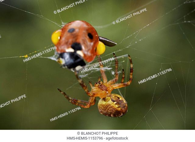 France, Araneae, Araneidae, European garden spider (Araneus diadematus), Reflex bleeding (autohaemorrhaging) of a ladybug caught in a web