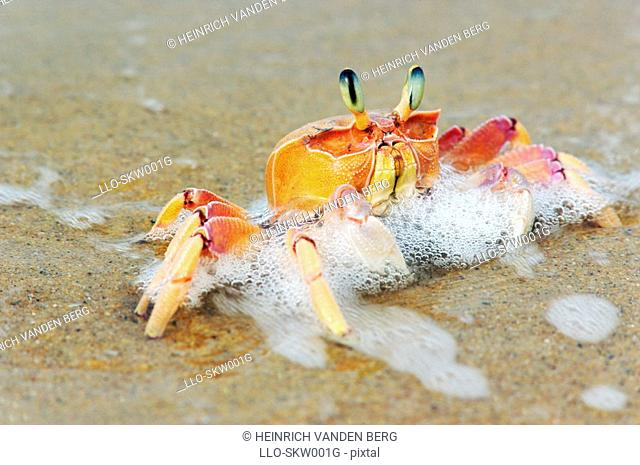 A Close-up View of a Ghost Crab on the Shoreline  Sodwana Bay, KwaZulu Natal Province, South Africa