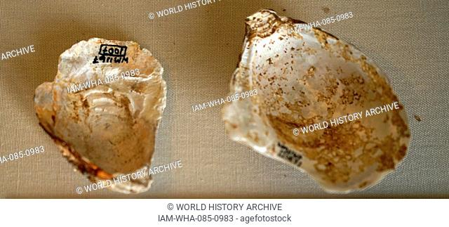 16th century, oyster shells from the late Tudor period; found at Blakesley Hall is a Tudor hall on Blakesley Road, Yardley, Birmingham, England