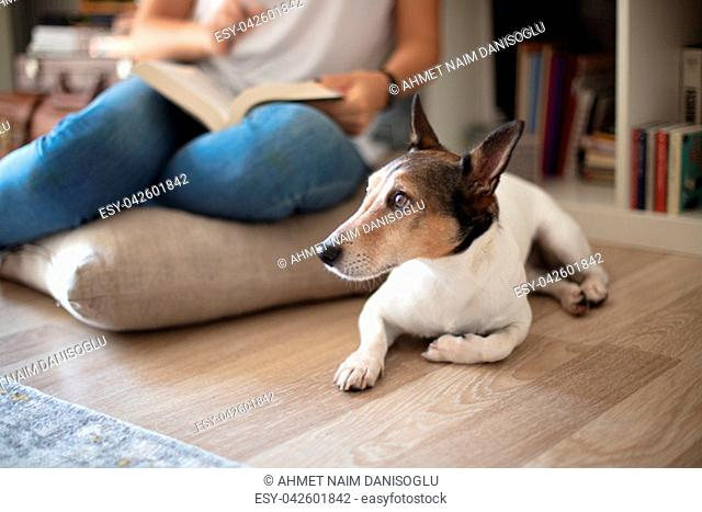 Cute little Jack Russell lying floor in a living room while its owner sitting on a cushion