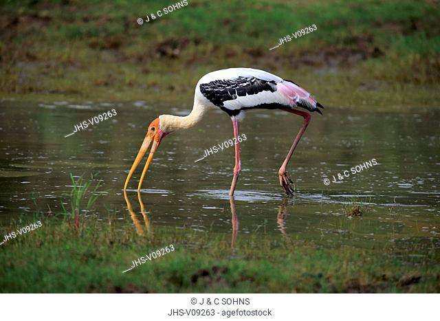 Painted Stork, (Mycteria leucocephala), adult in water searching for food, Udawalawe Nationalpark, Sri Lanka, Asia