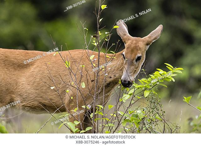Adult female marsh deer, Blastocerus dichotomus, Pousado Alegre, Mato Grosso, Brazil